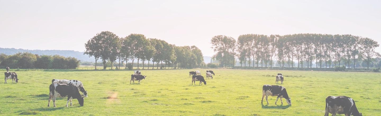 El oro blanco de nuestras vacas